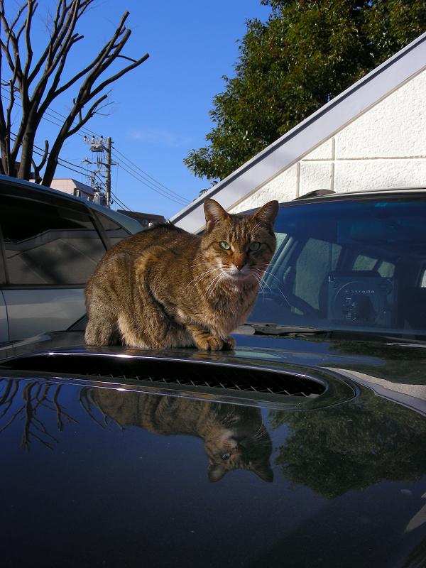 ボンネットとキジトラ猫1