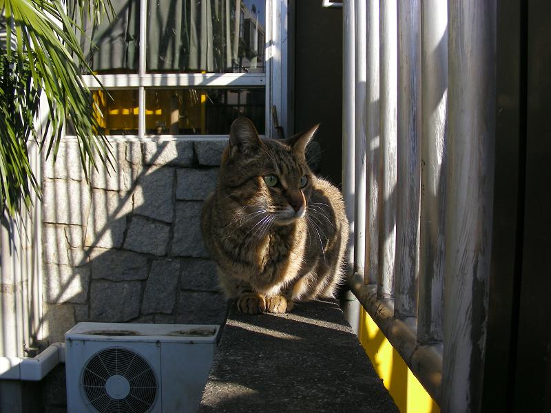 ボンネットとキジトラ猫3