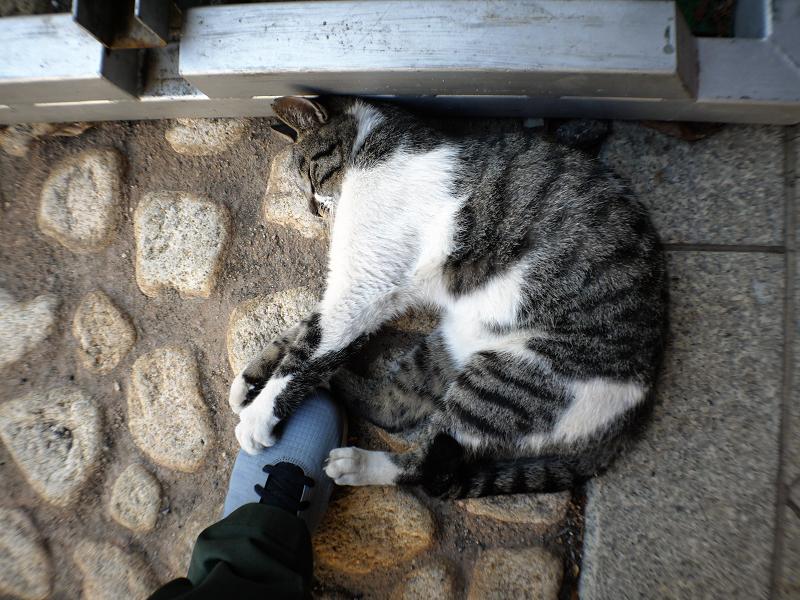 スニーカーを引っ掻くキジ白猫1