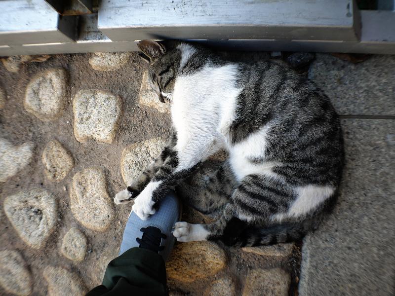 スニーカーを引っ掻くキジ白猫2