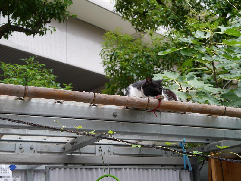 小屋屋根の黒白猫1