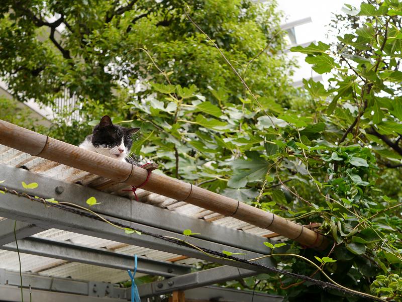 小屋屋根の黒白猫2
