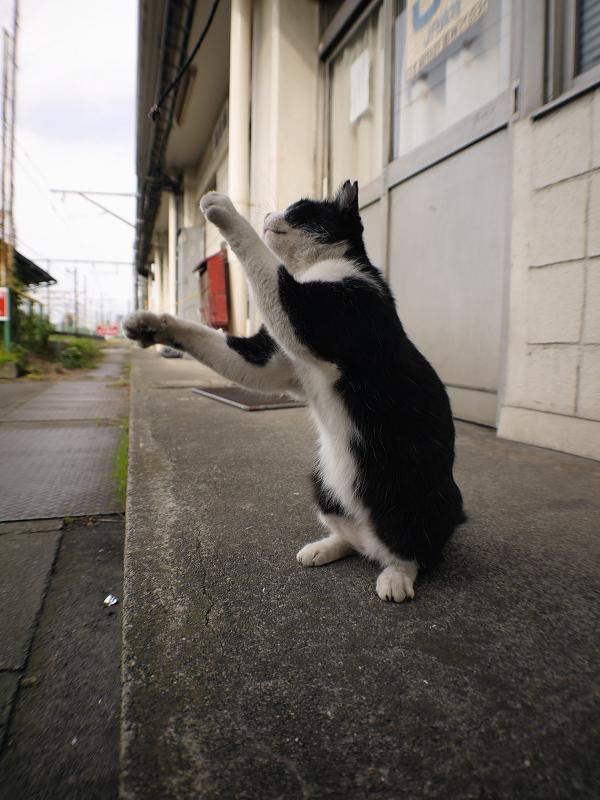 立ち上がった黒白猫1