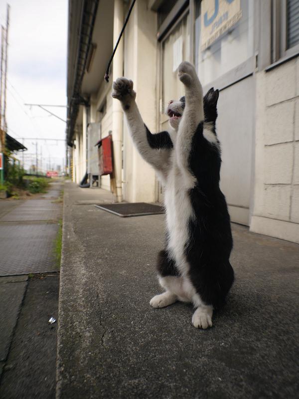 立ち上がった黒白猫2