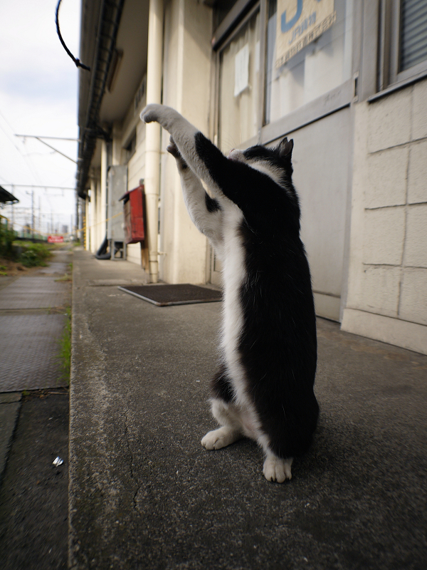 立ち上がった黒白猫3