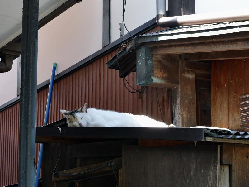 頭寒足熱な白三毛猫1