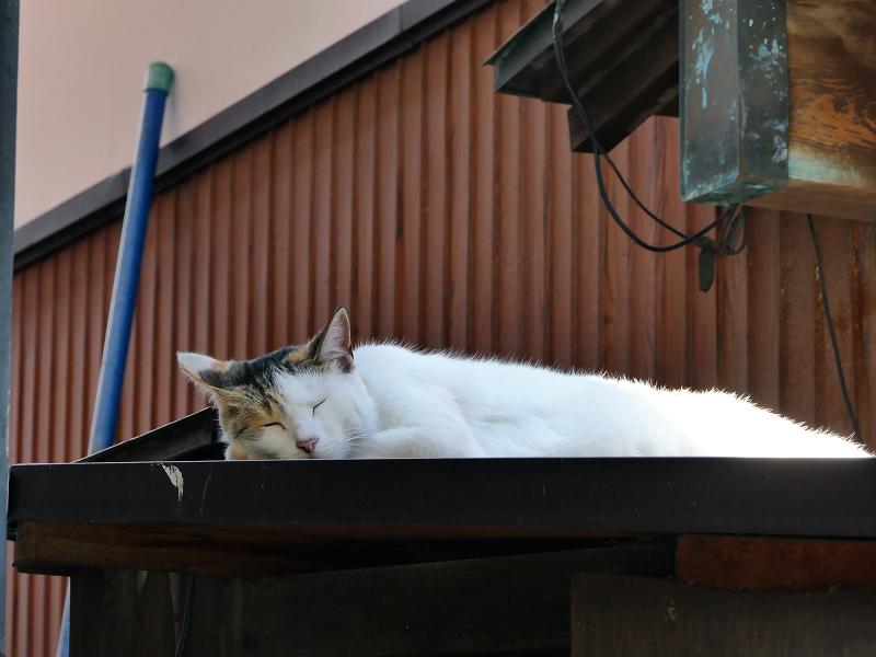 頭寒足熱な白三毛猫2