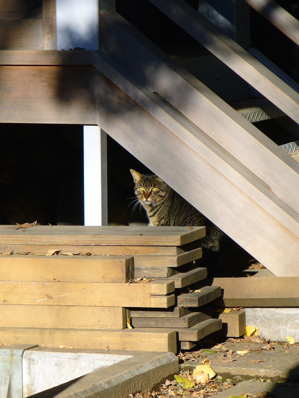 木製階段下のキジトラ猫