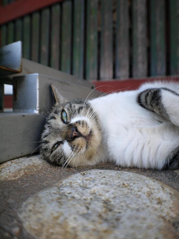 門前で横になるキジ白猫
