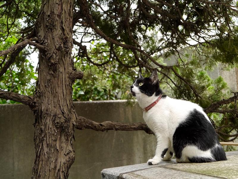 樹木を凝視している白黒猫1