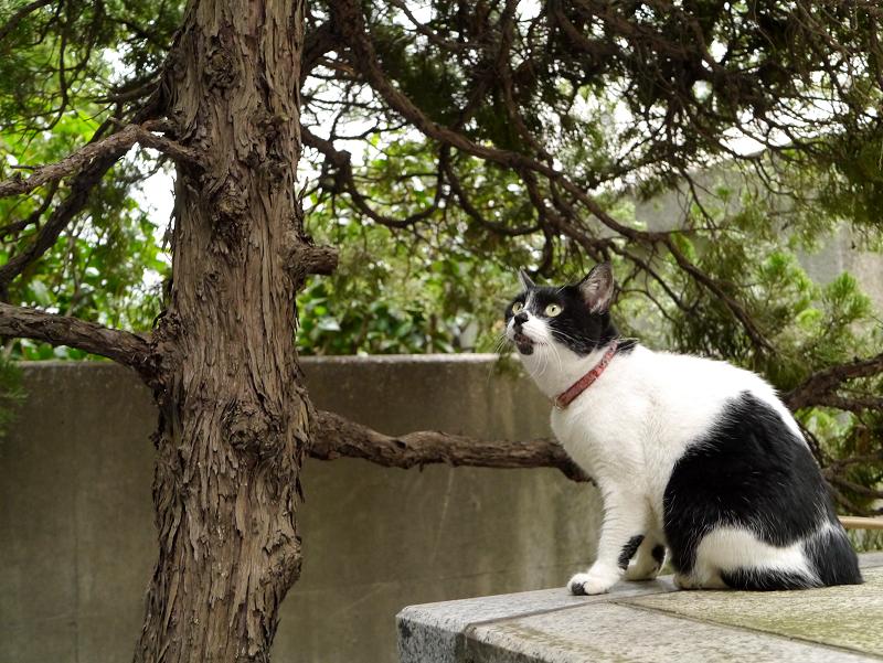 樹木を凝視している白黒猫2
