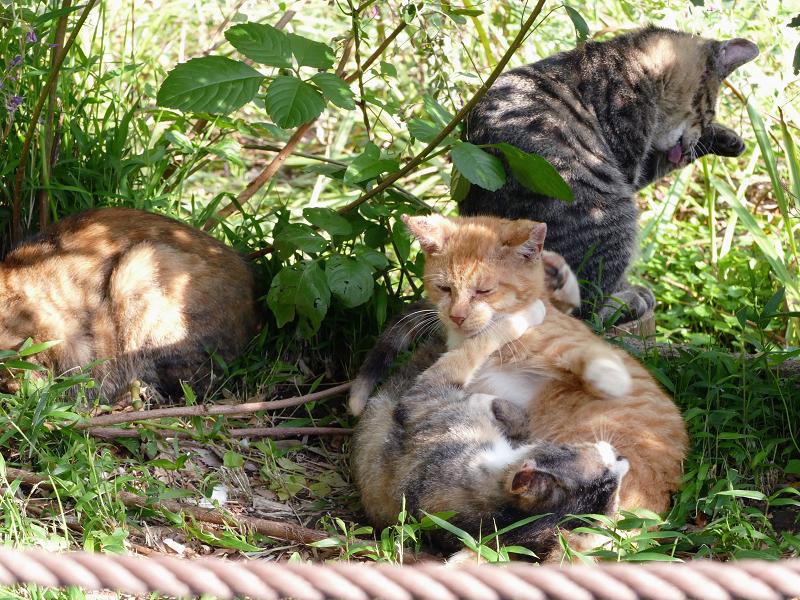 日当たり繁みの子猫1
