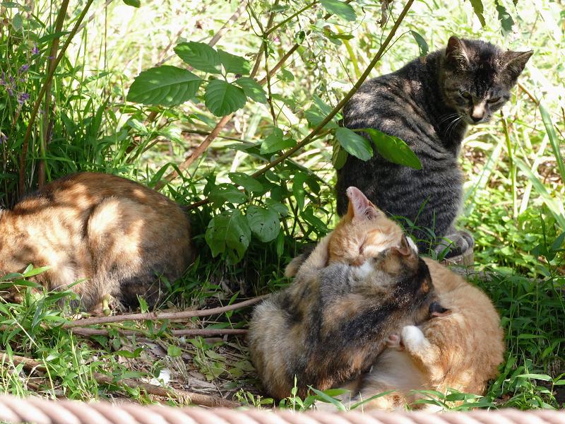 日当たり繁みの子猫2
