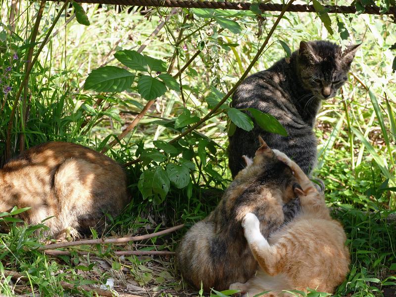 日当たり繁みの子猫3