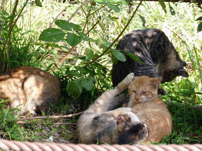 日当たり繁みの子猫4
