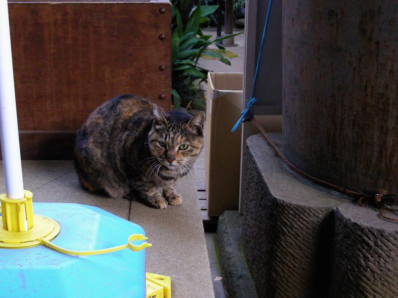 賽銭箱とサビ柄猫1