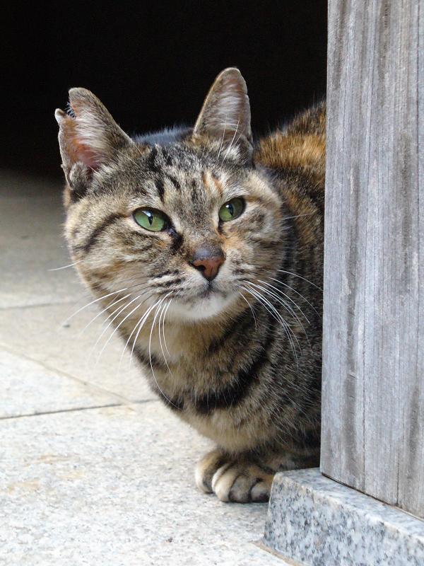 賽銭箱とサビ柄猫2