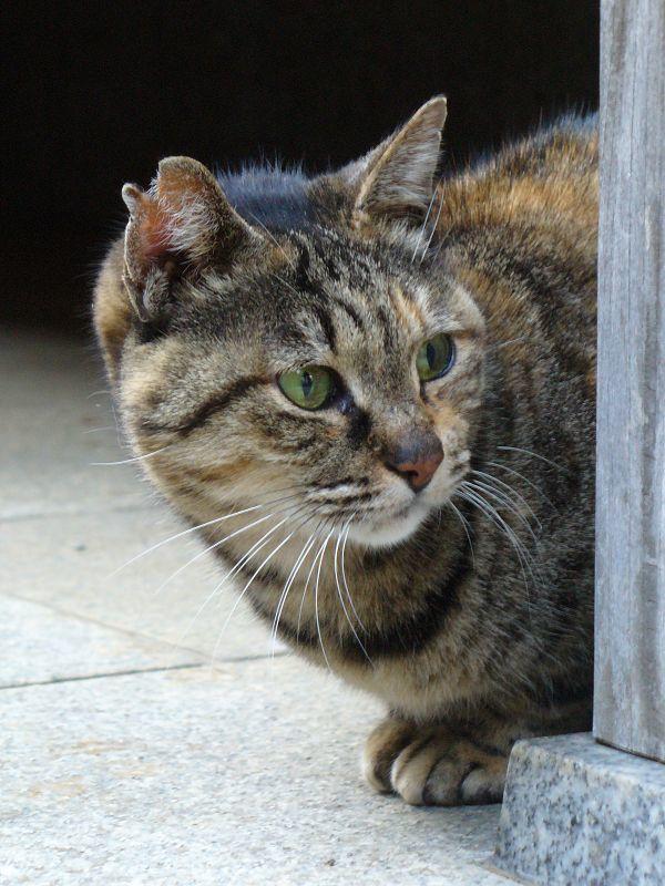 賽銭箱とサビ柄猫3