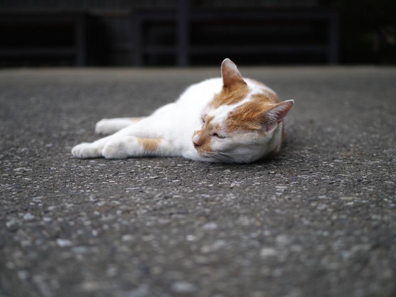 境内で起き上がった茶白猫1
