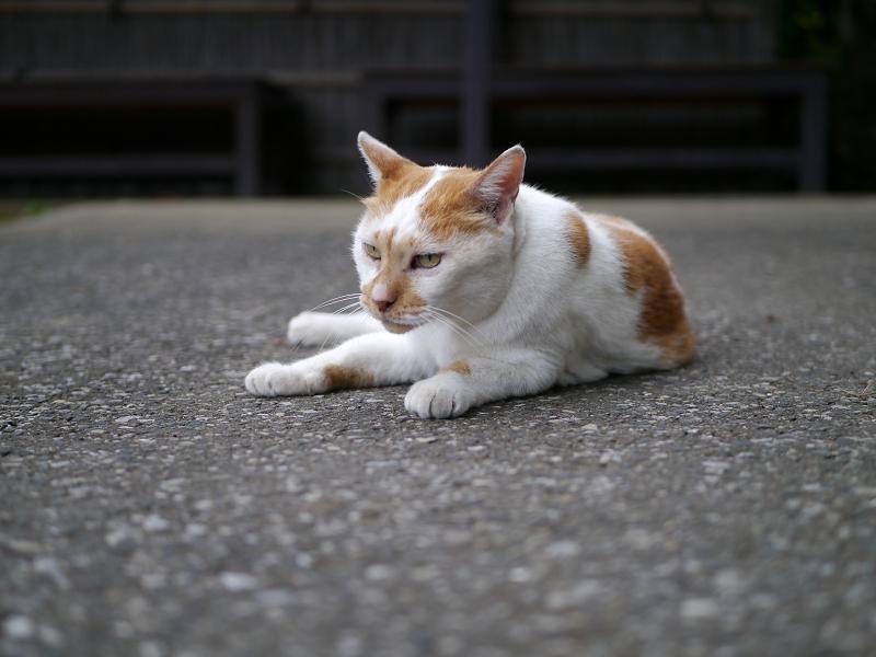 境内で起き上がった茶白猫2