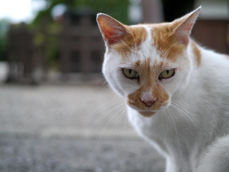 境内で起き上がった茶白猫3