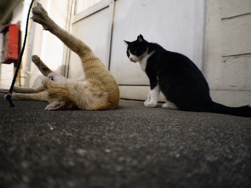 仰向けになっちゃった茶トラ猫1