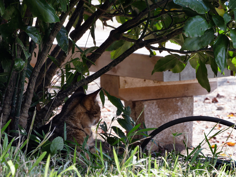 茂みベンチとキジトラ猫1