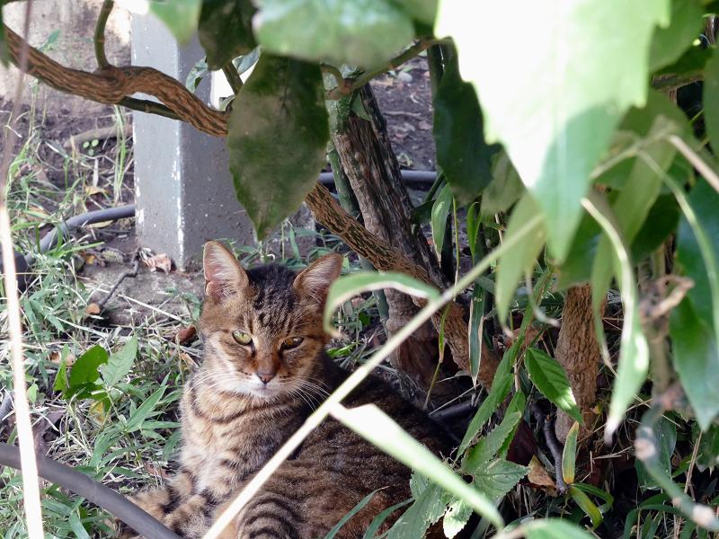 茂みベンチとキジトラ猫2