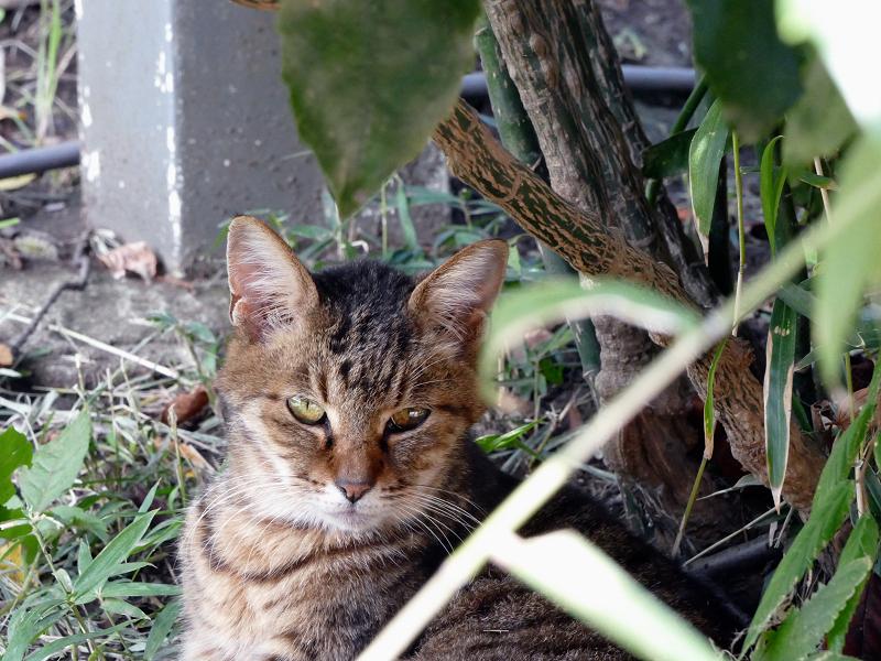 茂みベンチとキジトラ猫3