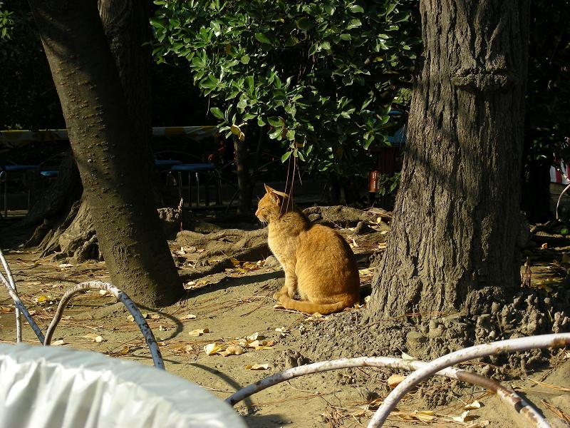 公園の茶トラ猫1