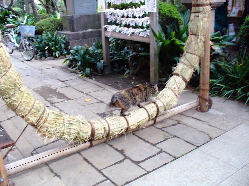 茅の輪とサビ柄猫