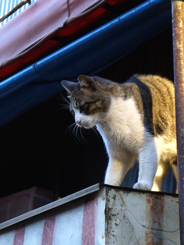 店の台に乗ってるキジ白猫1