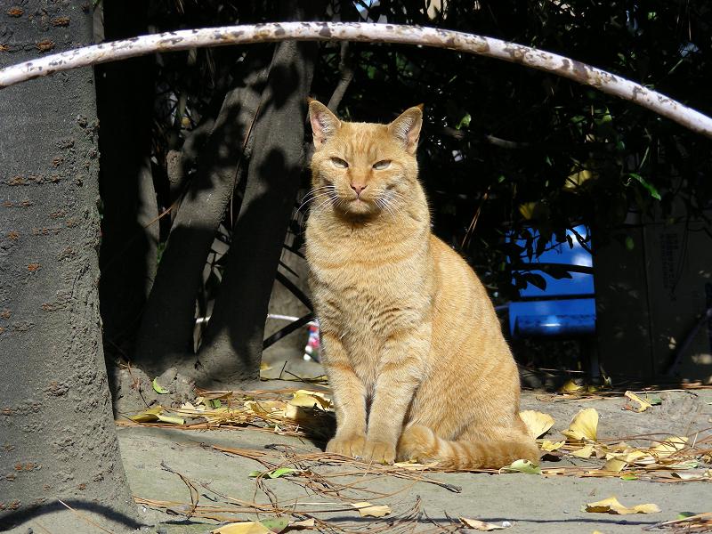 公園の茶トラ猫2