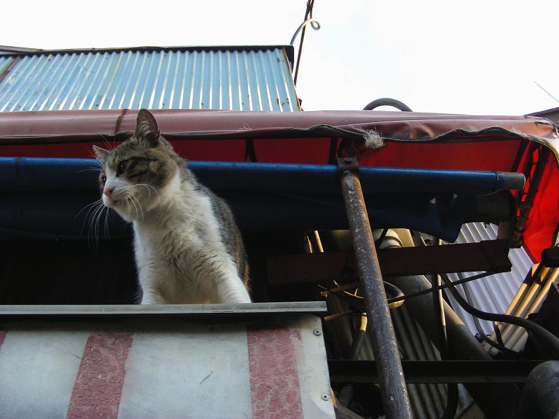 店の台に乗ってるキジ白猫2