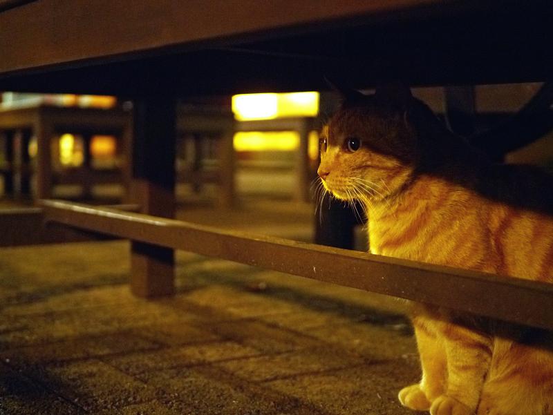 夕暮れベンチ下のアメショー風猫