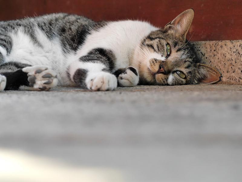 ベターっと寝ているキジ白猫1