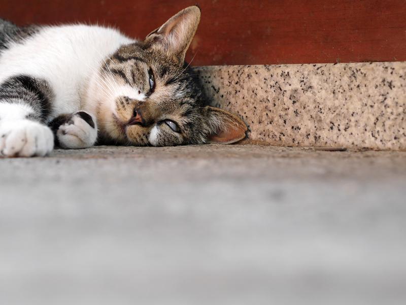 ベターっと寝ているキジ白猫2
