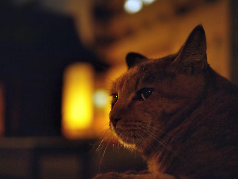 夕暮れベンチ上のサビ柄猫