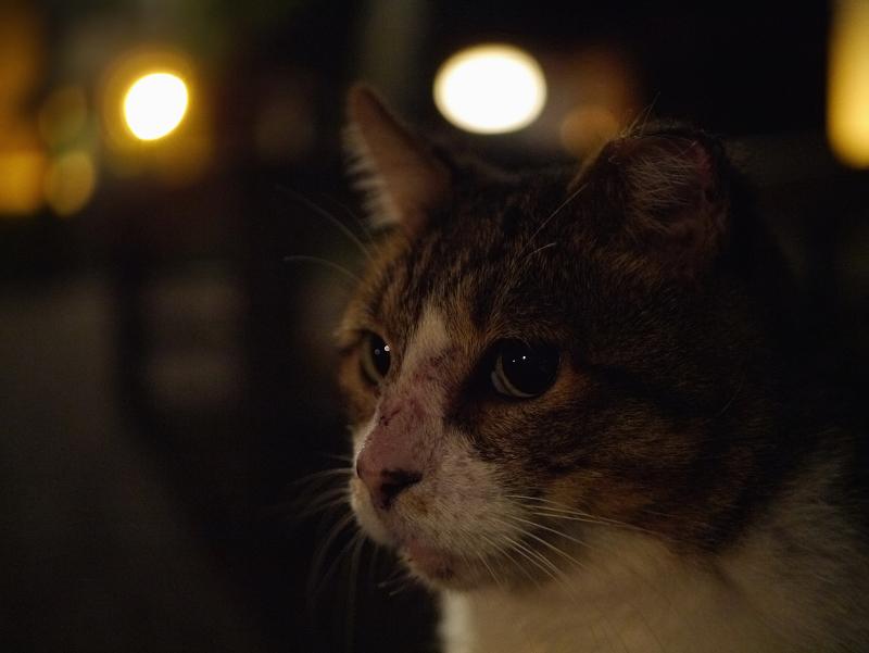 夕暮れベンチ前のキジ白猫