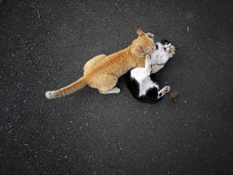 掴み合ってる猫たち1
