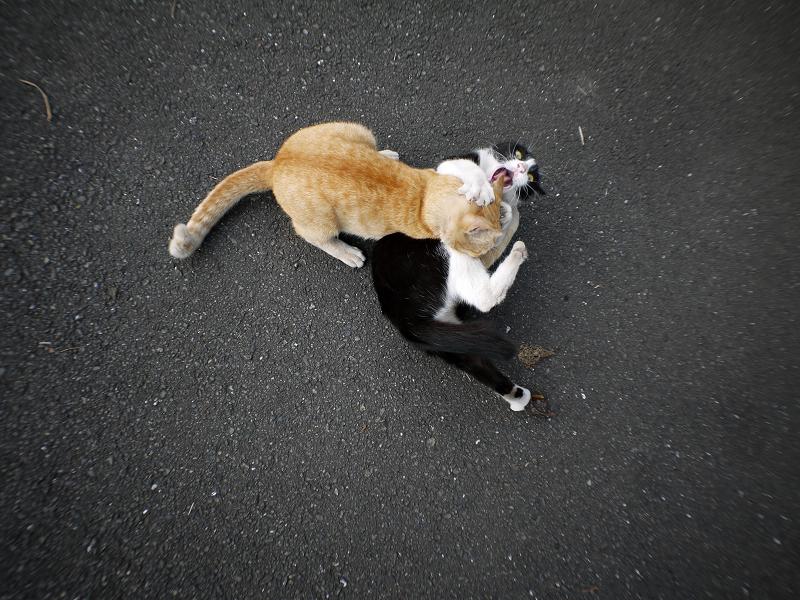 掴み合ってる猫たち3