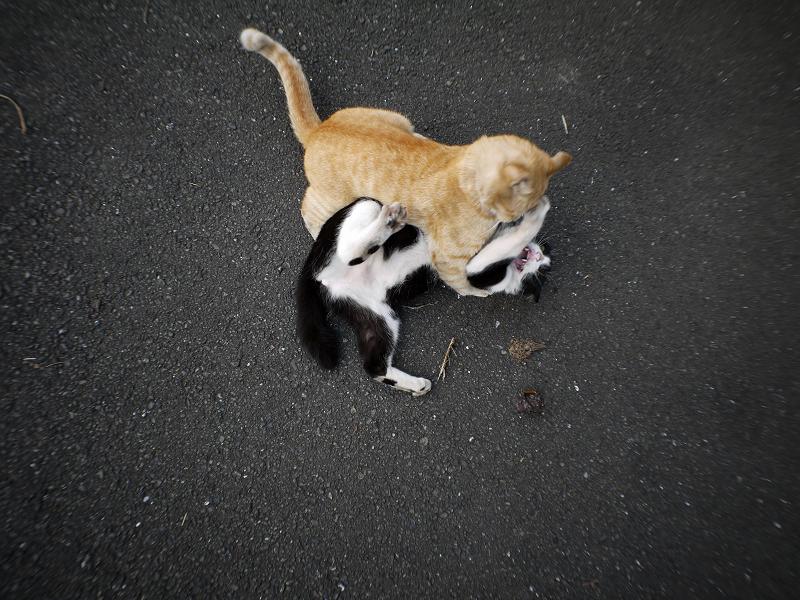 掴み合ってる猫たち4
