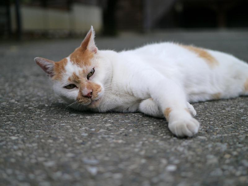 境内で横になる茶白猫1