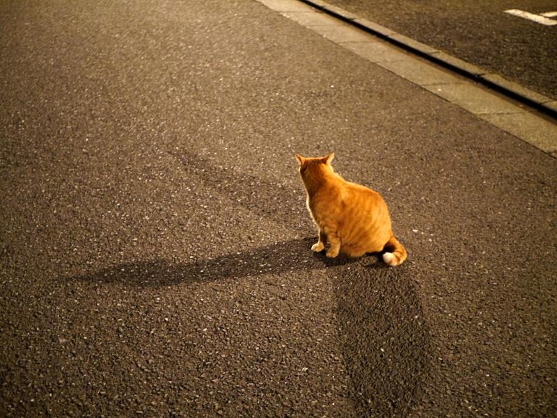 夜参道の茶トラ猫1