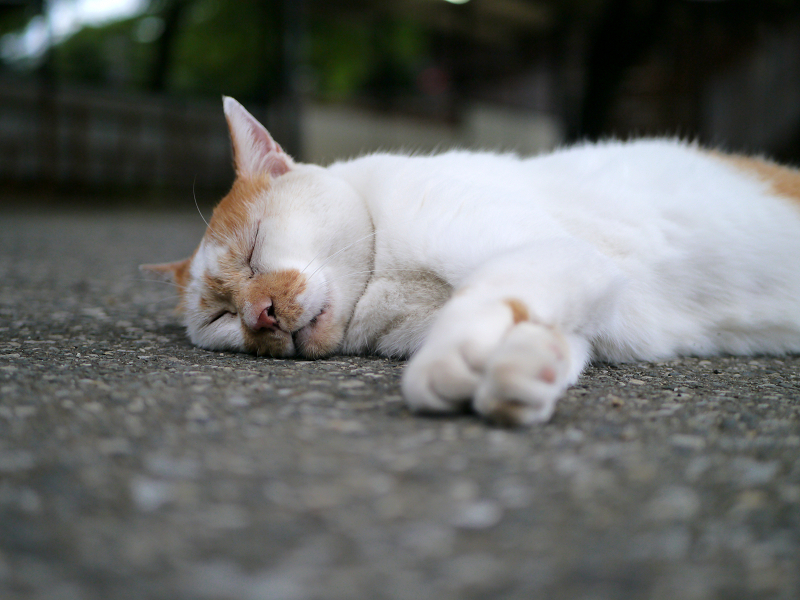 境内で横になる茶白猫2