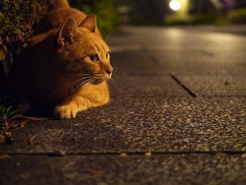 夜参道の茶トラ猫2