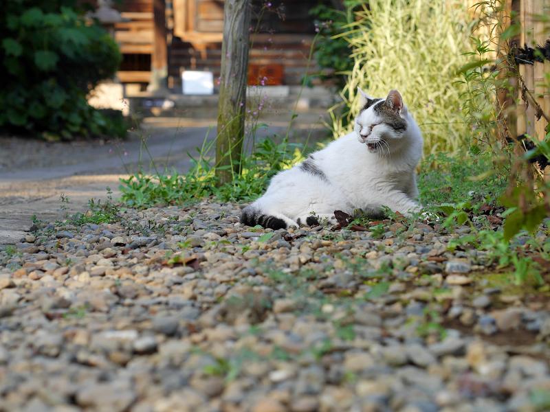 細い参道で鳴いている白キジ猫2
