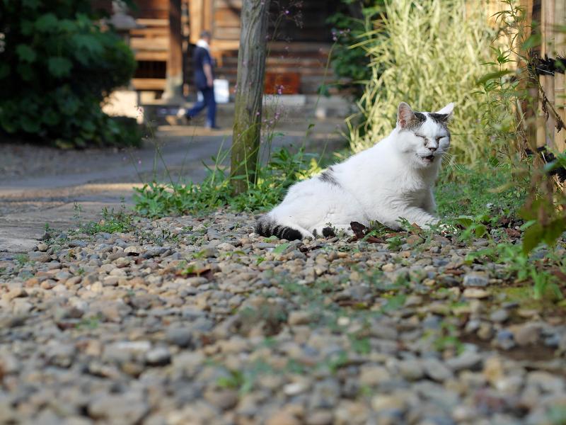 細い参道で鳴いている白キジ猫3