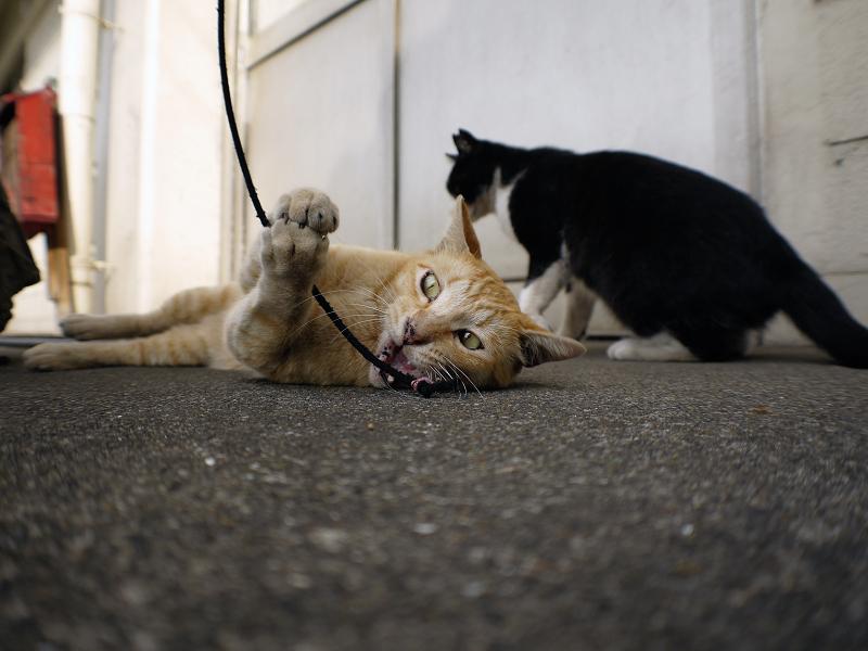 触られる茶白猫1
