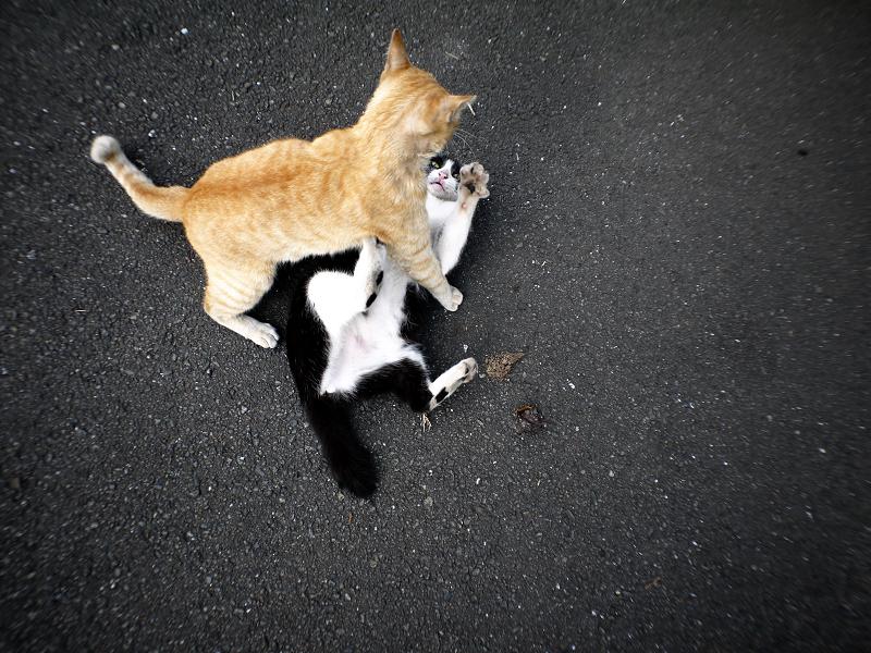 飽きずに暴れる猫たち1